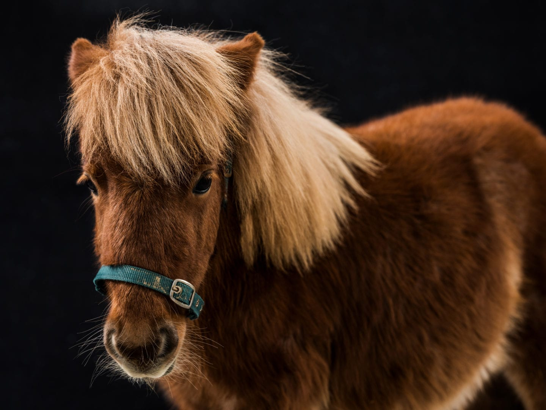 Golega Horses Pony